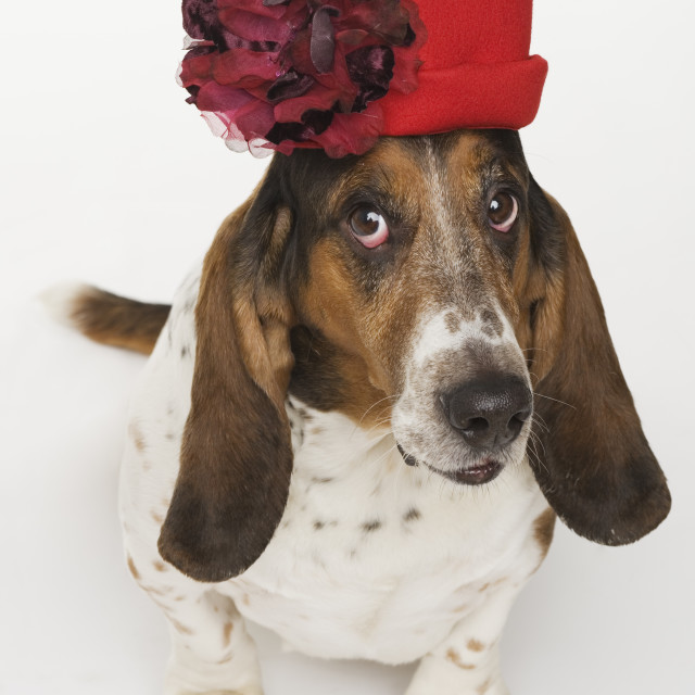 """Portrait of bassett hound wearing red hat"" stock image"