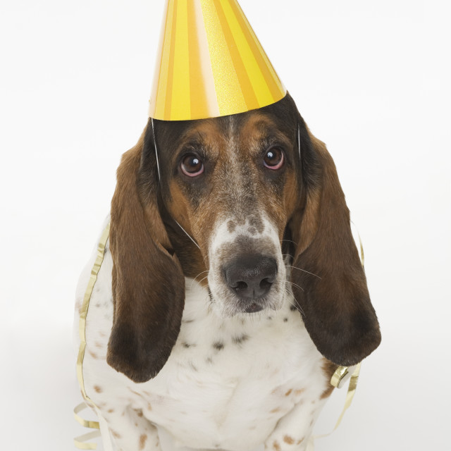 """Portrait of bassett hound wearing yellow party hat"" stock image"