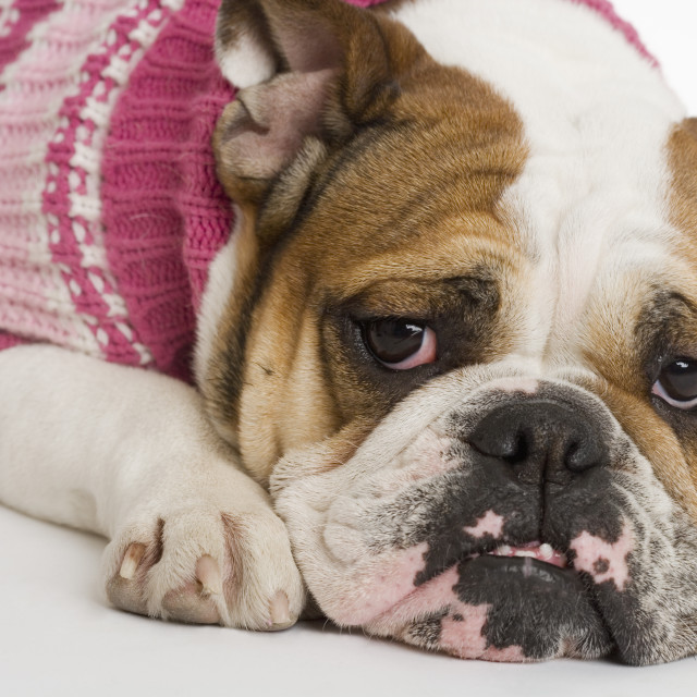 """Bulldog wearing a sweater"" stock image"