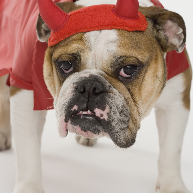 """Bulldog dressed as a devil"" stock image"