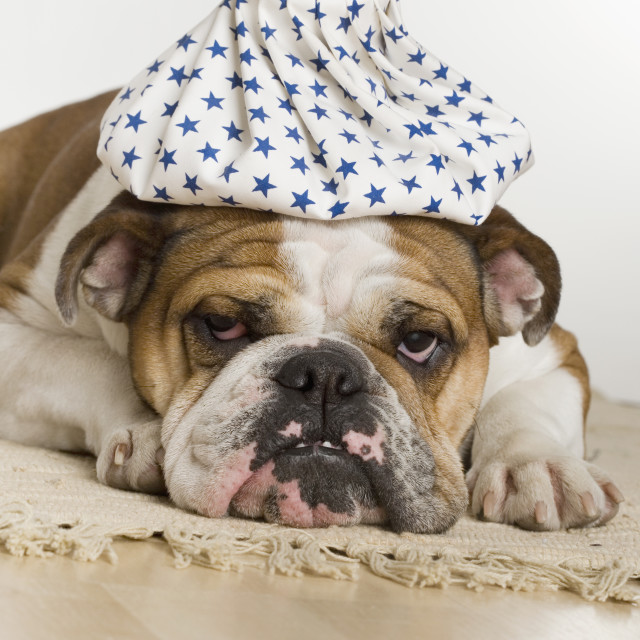 """Bulldog with an icepack on head"" stock image"