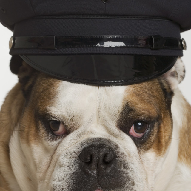 """Bulldog dressed as a policeman"" stock image"