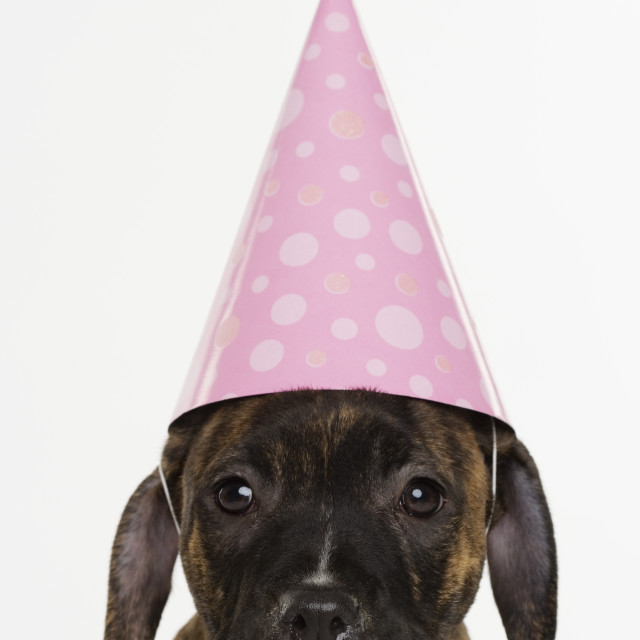 """Pitbull puppy wearing party hat"" stock image"