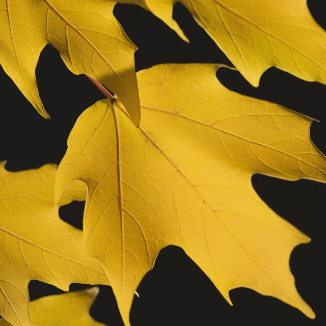 """""""Close up of autumn leaves on branch"""" stock image"""