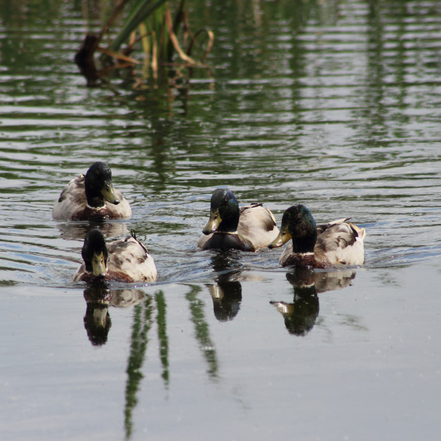"""Four Ducks Wake"" stock image"