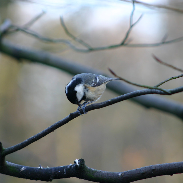 """Coal Tit on branch eating seed"" stock image"