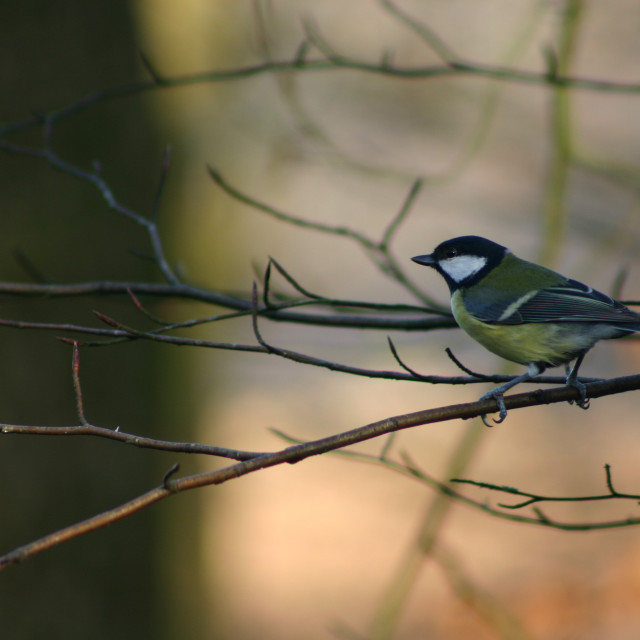 """Great Tit perched on branch"" stock image"