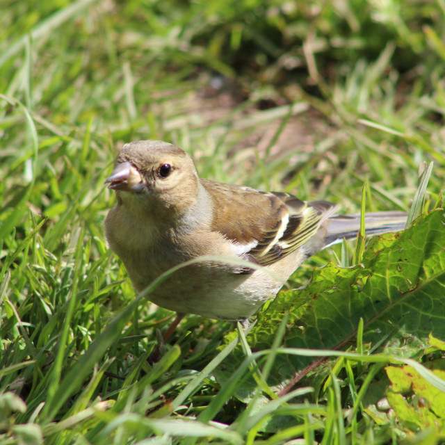 """Chaffinch in the grass"" stock image"