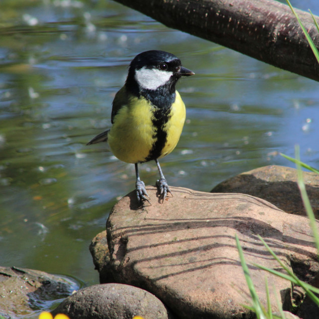 """Great Tit on rock"" stock image"