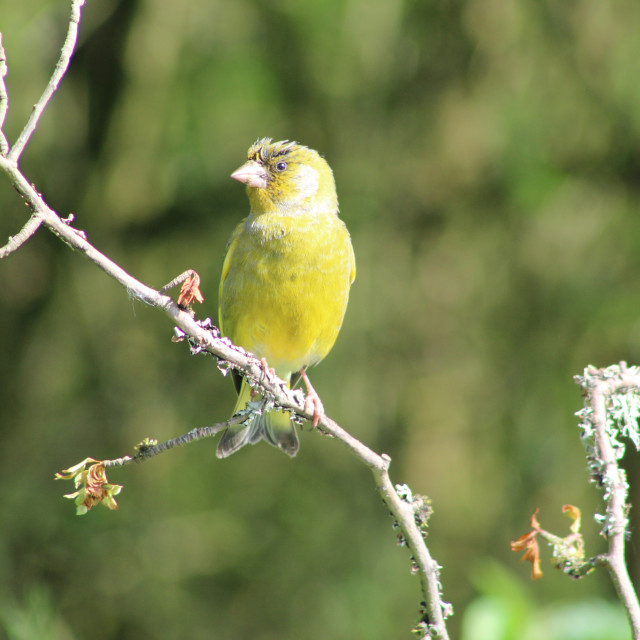 """Greenfinch on branch"" stock image"