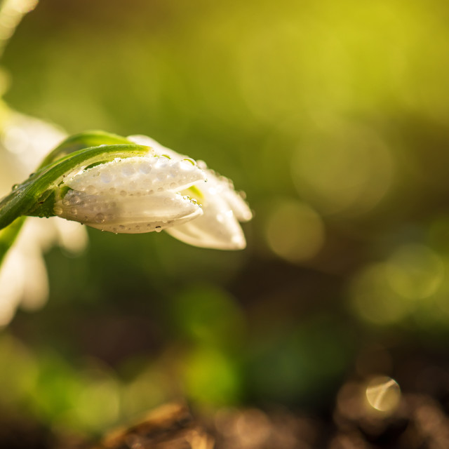 """""""Snowdrops first spring flowers."""" stock image"""