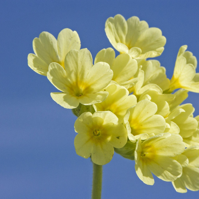 """Cowslip in front of blue sky"" stock image"