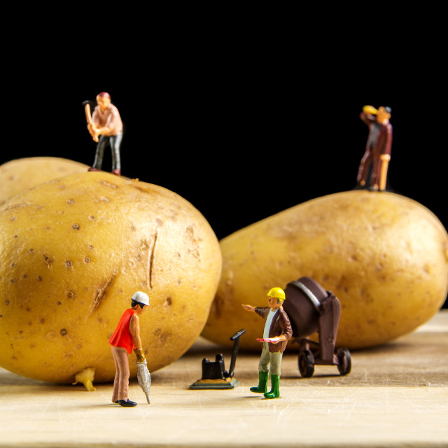 """hard team working to make the best potato possible"" stock image"