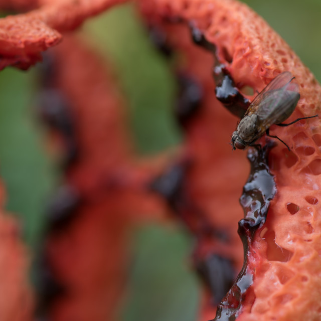 """""""Clathrus ruber fungi with fly"""" stock image"""