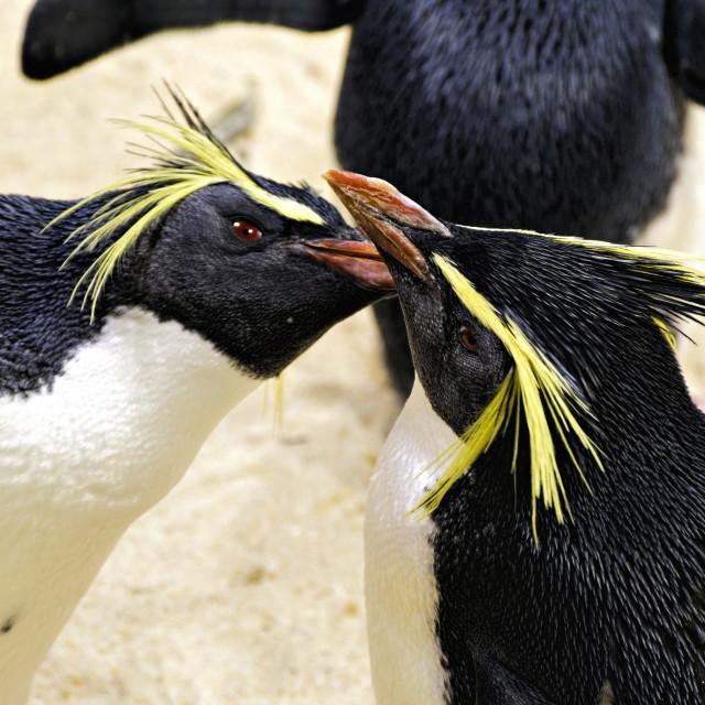"""2 Macaroni Penguins"" stock image"