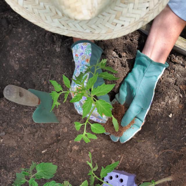 """planting vegetable in garden"" stock image"