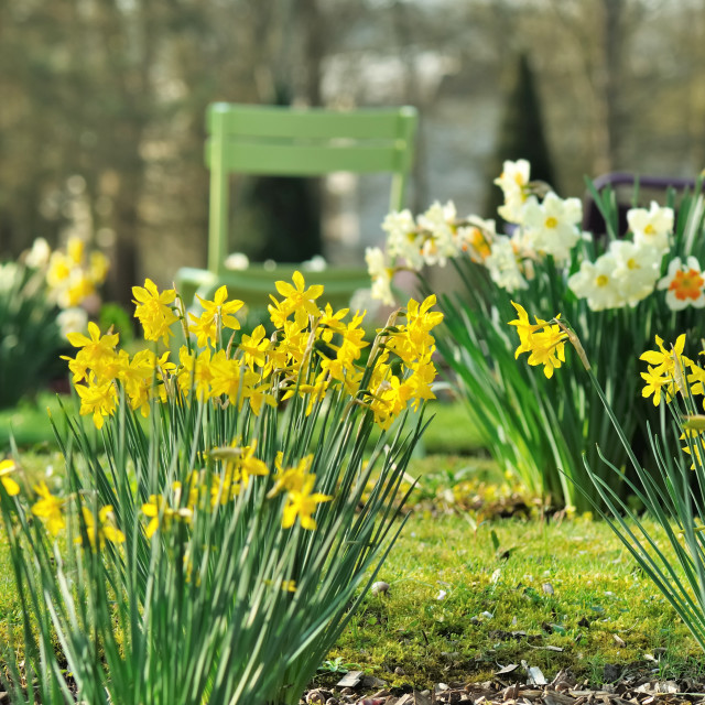 """""""narcissus blooming in a park"""" stock image"""
