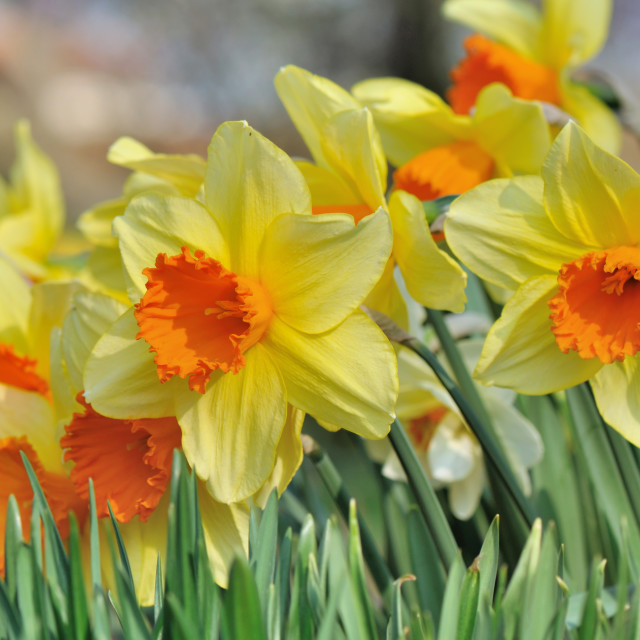 """""""large daffodils in garden"""" stock image"""