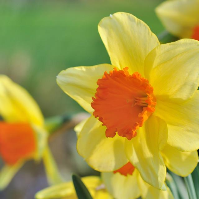 """""""beautiful daffodil blooming"""" stock image"""