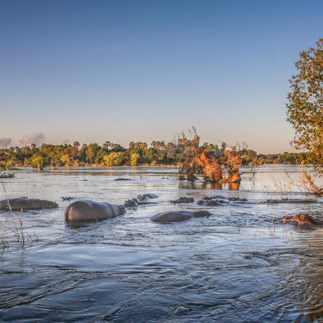 """Hippos in the Zambezi River"" stock image"