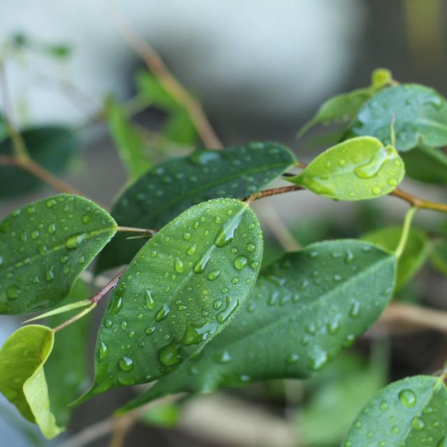 """Garden Shrub after Rain"" stock image"