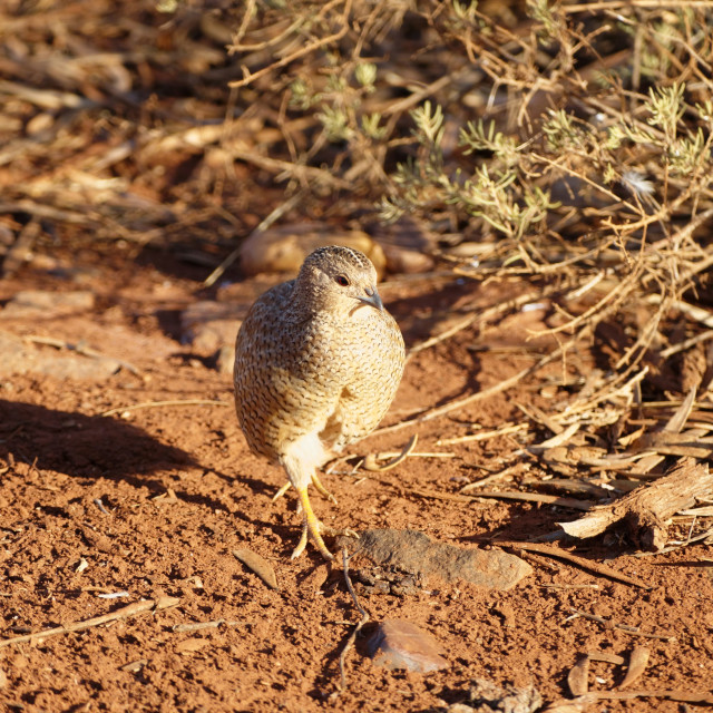 """""""Young Spinifex Pidgeon"""" stock image"""