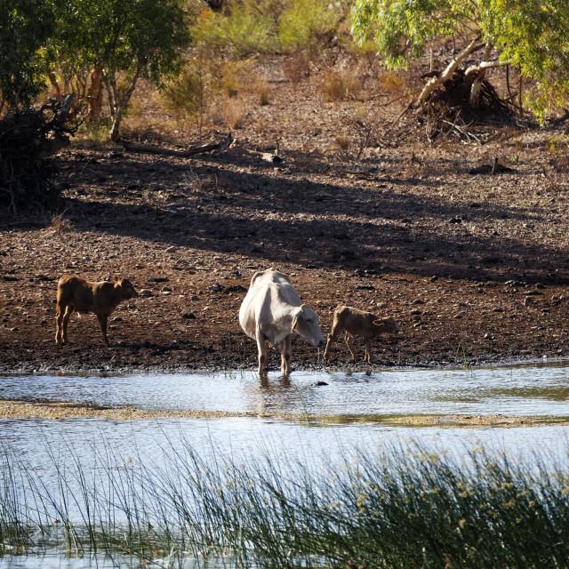 """Livestock at waters edge"" stock image"