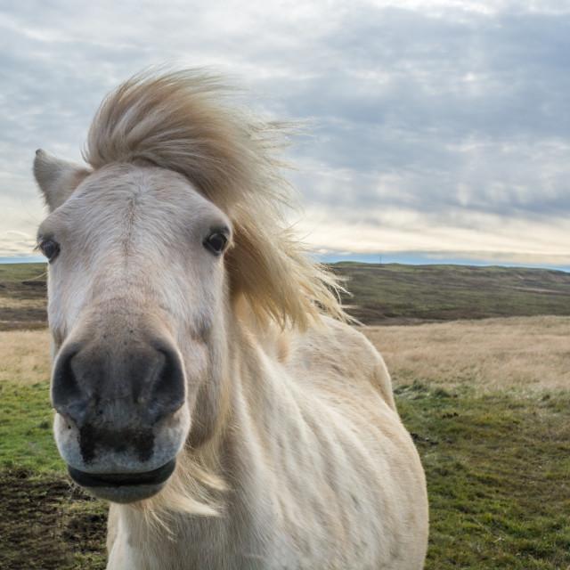 """""""Icelandic Horse."""" stock image"""