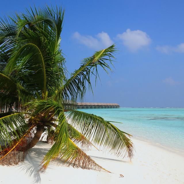 """Palm over white sand , Malidves"" stock image"