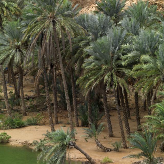 """Palm Trees In Wadi Shab, Muscat, Oman"" stock image"