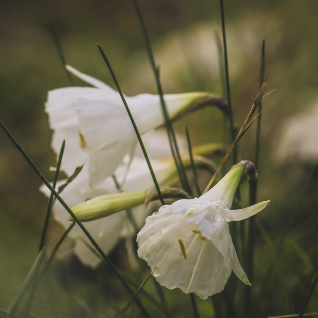"""Narcissus cantabricus,White Hooped-Petticoat, flowering"" stock image"