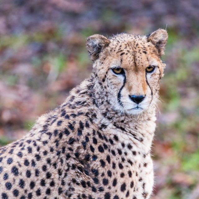 """African Cheetah pauses from a feed"" stock image"