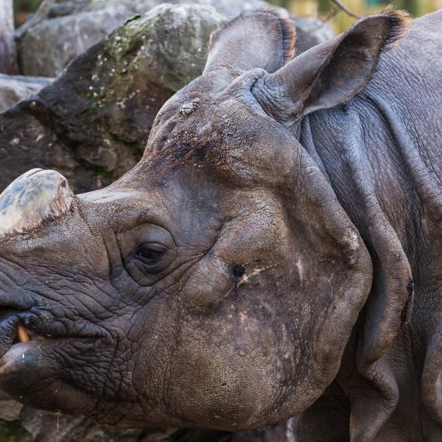 """Greater one-horned rhinoceros"" stock image"