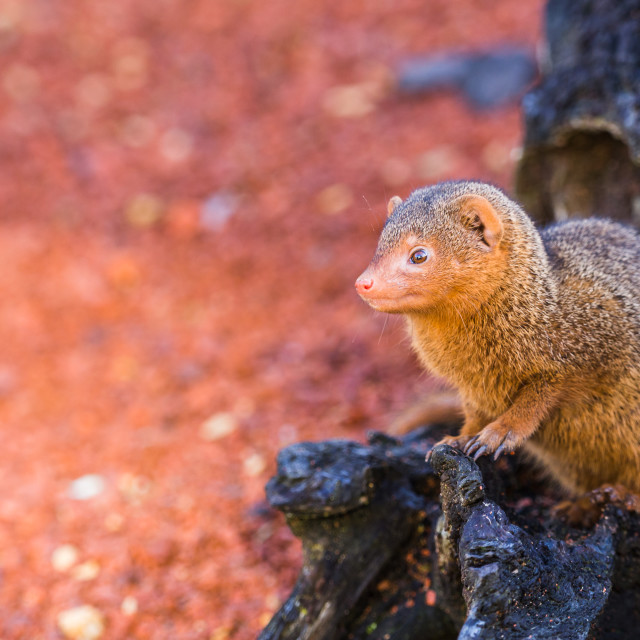 """Common dwarf mongoose peers out of a log"" stock image"