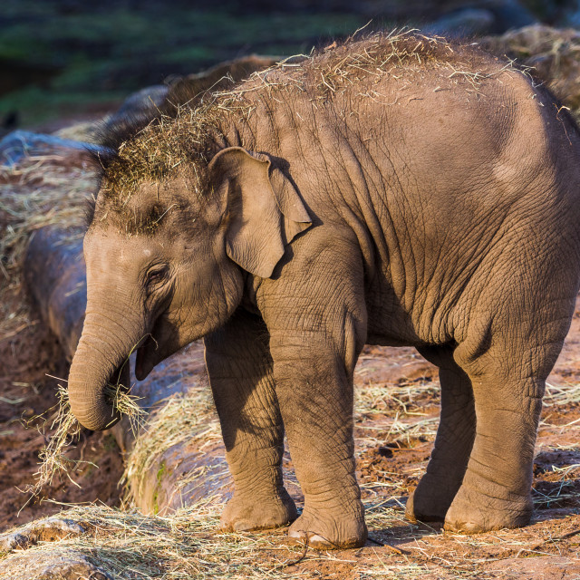 """Asian elephant calf"" stock image"