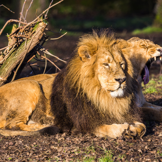 """Asiatic lion pair in the sun"" stock image"