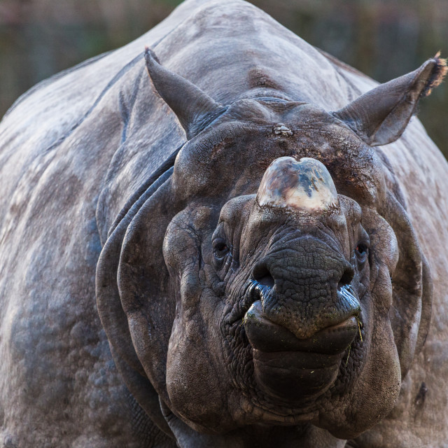 """Greater one-horned rhinoceros"" stock image"