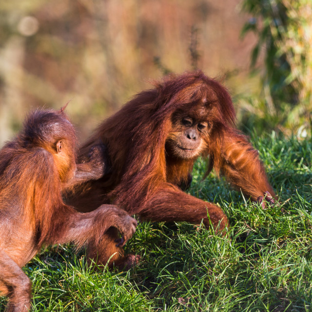 """Sumatran Orangutan pair playing"" stock image"