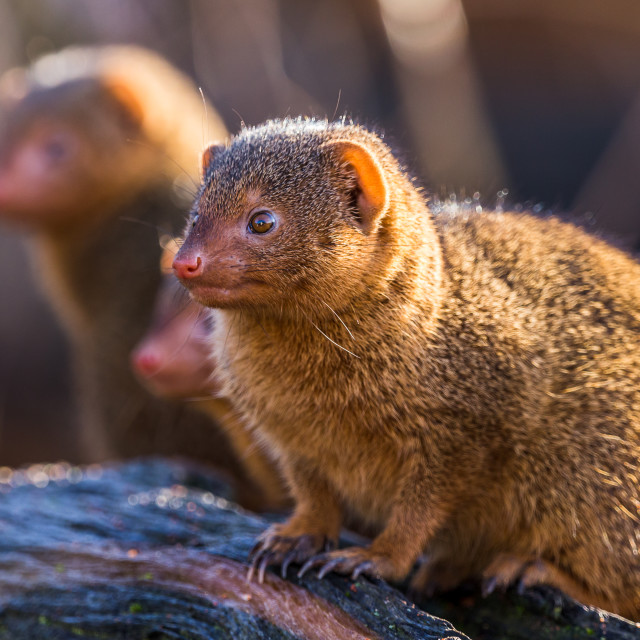 """Common dwarf mongoose"" stock image"
