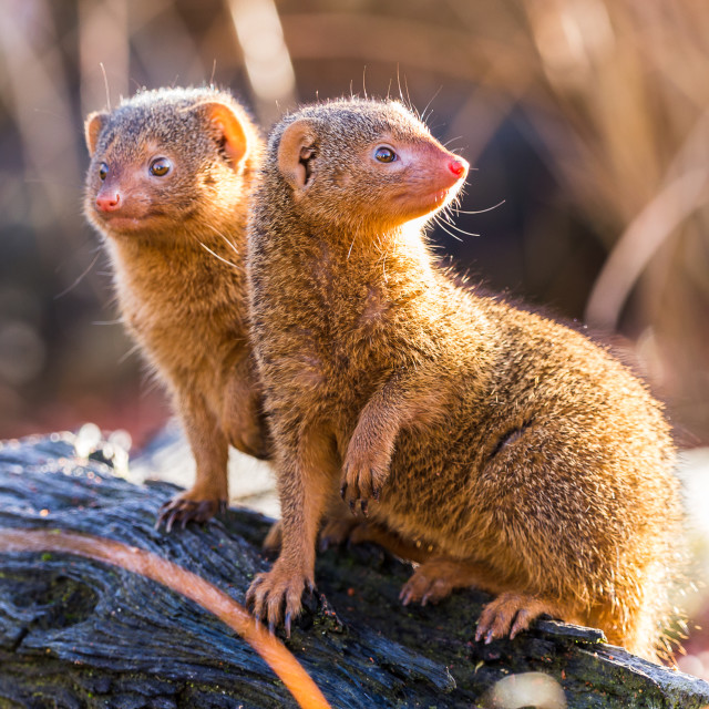 """Common dwarf mongoose pair"" stock image"
