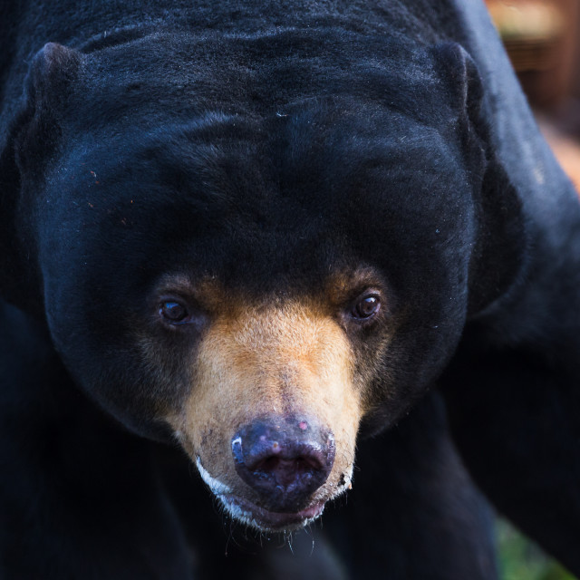 """Malayan sun bear wonders towards the camera"" stock image"