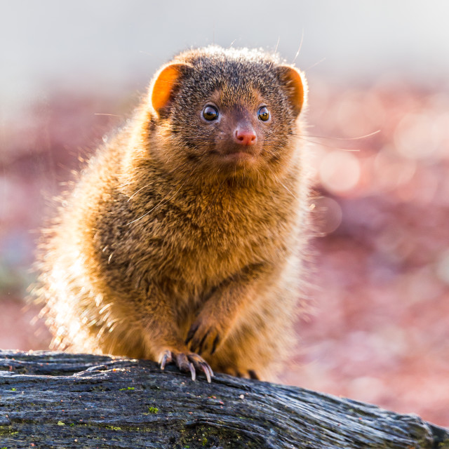"""Backlit Common dwarf mongoose"" stock image"