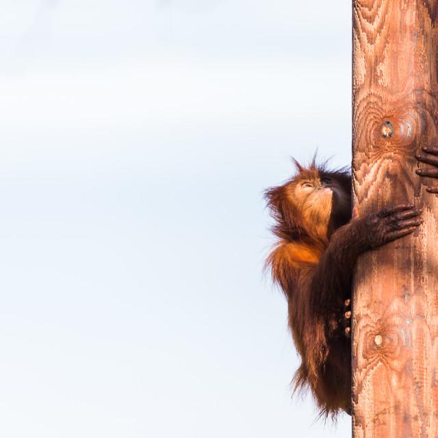 """""""Sumatran Orangutan climbing"""" stock image"""