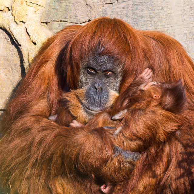 """Mother and baby Sumatran Orangutans"" stock image"