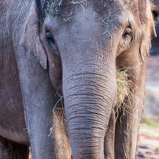 """Asian elephant faces the camera"" stock image"