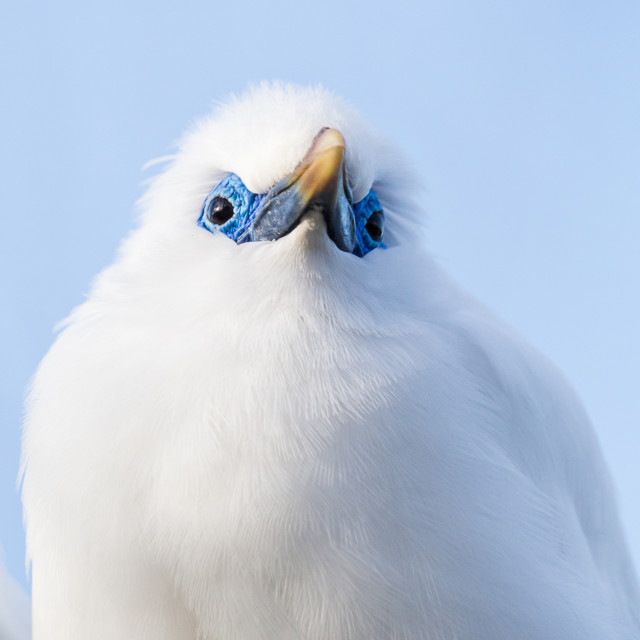 """Close up of a Bali starling"" stock image"