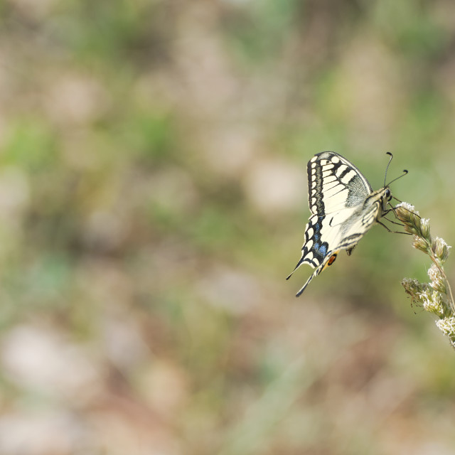 """""""Papilio Machaon Butterfly"""" stock image"""
