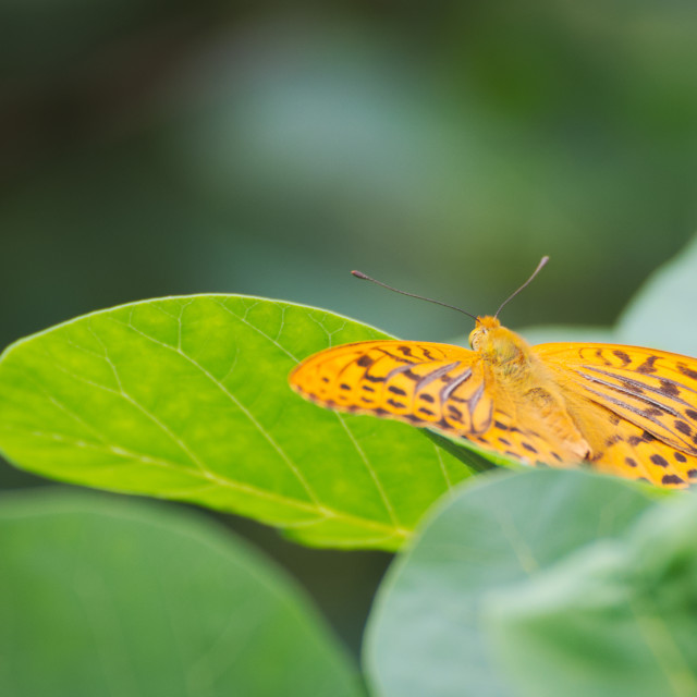 """""""Silver-washed Fritillary Butterfly"""" stock image"""