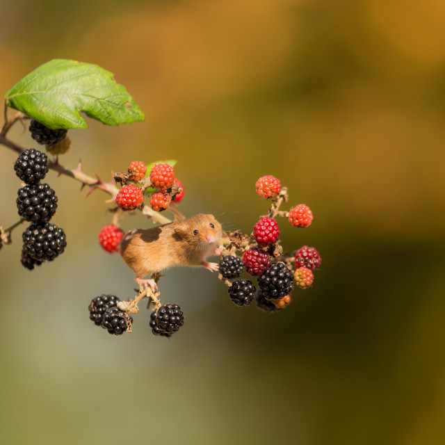 """Berry Mouse"" stock image"