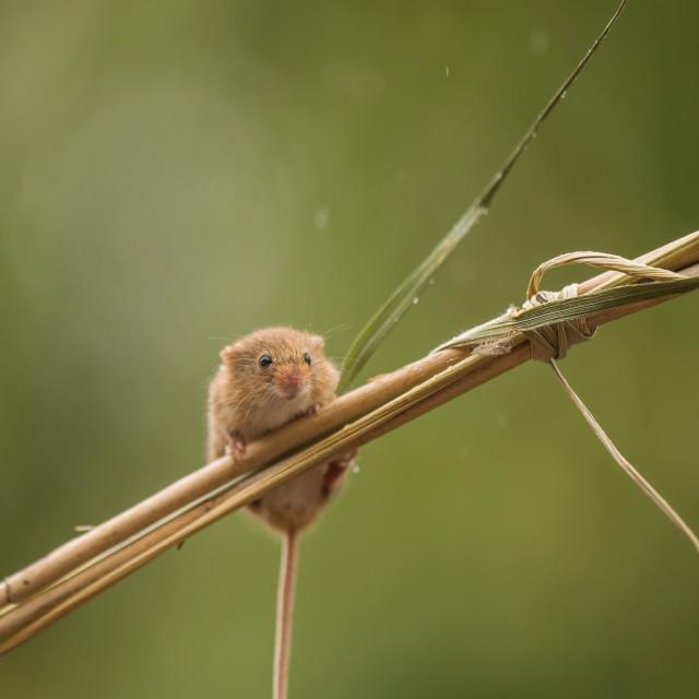 """Rainy Harvest Mouse"" stock image"